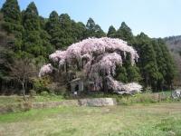 Daihinata Kannon-do / 大 日 向 観 音 堂 の シ ダ レ ザ ク ラ
